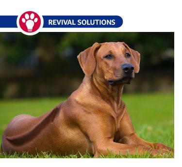 Canine Herpesvirus