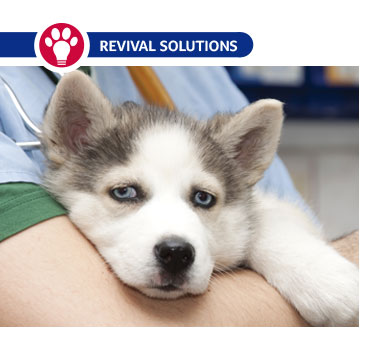 Brucellosis in Dogs